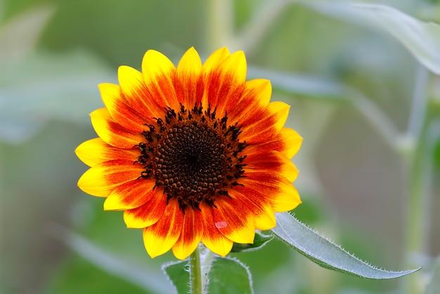 Gemeenschappelijke zonnebloem helianthus annuus Premium Foto