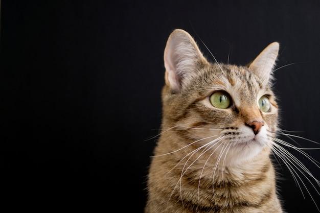 Gestreepte pluizige binnenlandse kat op zwarte achtergrond. Premium Foto
