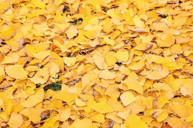 Gevallen bladeren van gingkoboom in het park Premium Foto