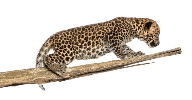 Gevlekte luipaardwelp die op een tak rondsnuffelen Premium Foto
