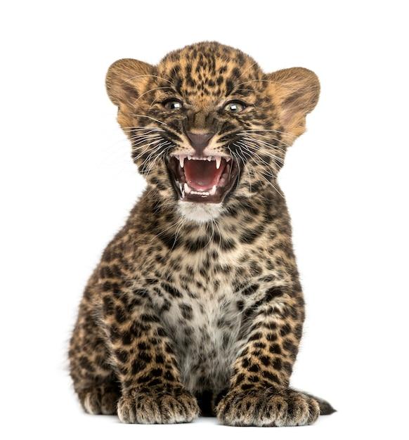 Gevlekte luipaardwelp zitten en brullen Premium Foto