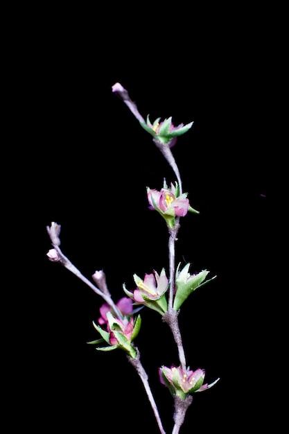 Gevoelige bloemen van de lente de roze die sakura op een zwarte achtergrond worden geïsoleerd. kunstzijde bloemen Premium Foto