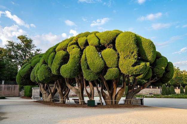 Gevormde cipressen in buen retiro park in de zomer bij de zonsopgang, madrid, spanje Premium Foto