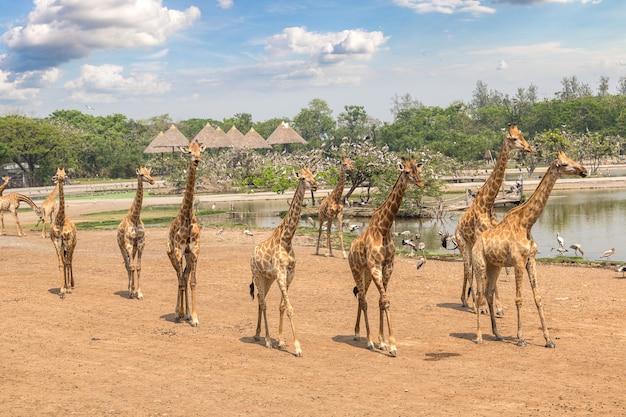 Giraf in dierentuin in bangkok, thailand Premium Foto