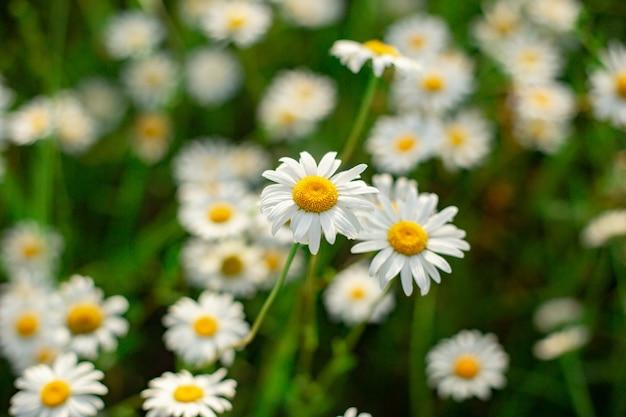 Glade van witte kamille bloemen close-up bovenaanzicht Premium Foto