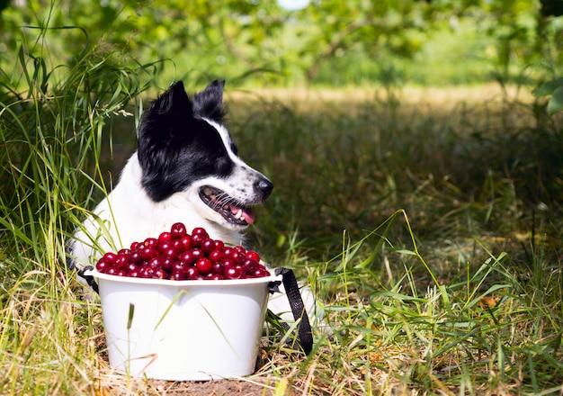 Glimlachend hondenras border collie die op het gras dichtbij een emmer van kersen liggen. Premium Foto