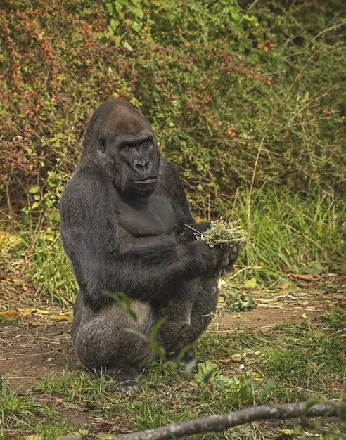 Gorilla die zich terwijl het houden van installaties bevindt Gratis Foto