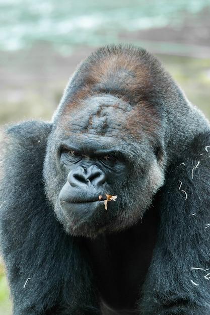 Gorilla portret Premium Foto