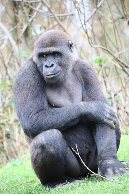 Gorilla zittend op de grond terwijl ze opzij kijkt Gratis Foto