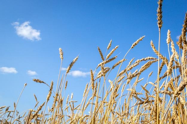 Gouden aartjes van rijpe tarwe in het veld op hemelachtergrond Premium Foto