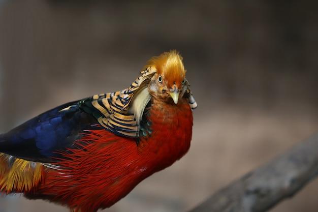 Gouden fazant in de natuur van het land Premium Foto