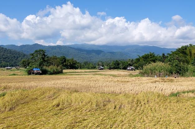 Gouden rijstveld in de oogsttijd in de vallei. Premium Foto