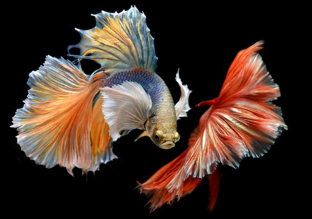 Gouden rode kleurrijke wankeling van betta saimese-vechtende vissen Premium Foto