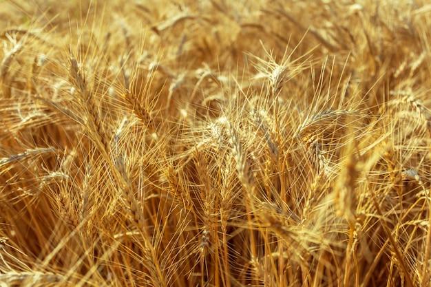 Gouden tarwegebied en zonnige dag Premium Foto