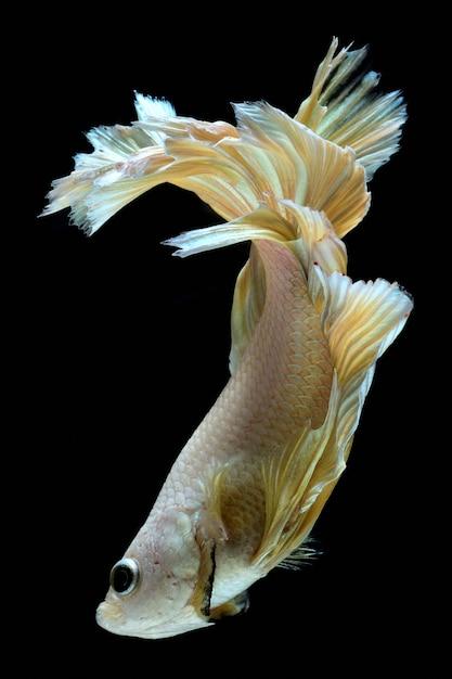 Gouden vechtvis. Premium Foto
