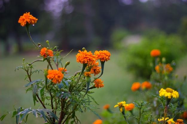 Goudsbloembloemen in de tuin Premium Foto
