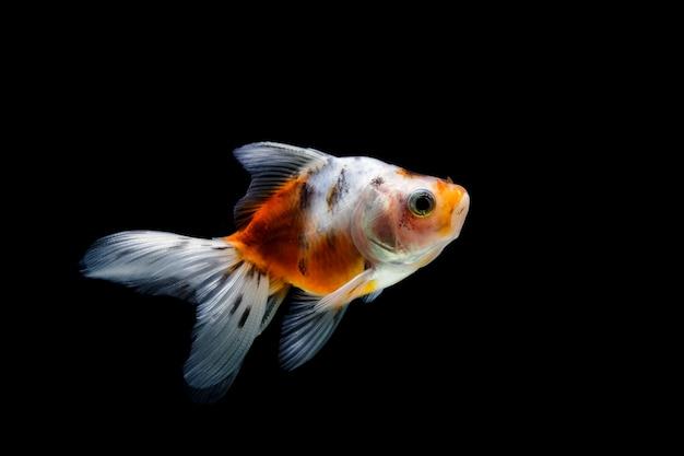 Goudvis geïsoleerd op een donkere zwarte achtergrond. verschillende kleurrijke carassius auratus in het aquarium Premium Foto