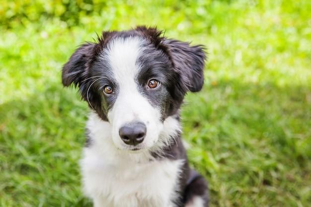 Grappig openluchtportret van het leuke smilling de border collie die van de puppyhond op groen grasgazon zitten Premium Foto