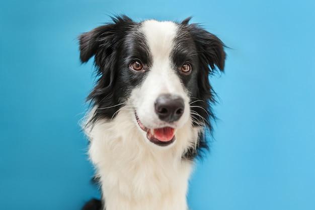 Grappig studioportret van leuke smilling die border collie van de puppyhond op blauw wordt geïsoleerd Premium Foto