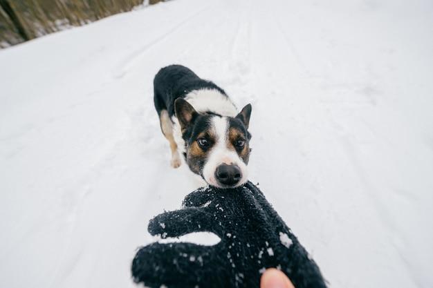 Grappige gekke hond die eigenaarhand op de winter sneeuwweg trekt. binnenlandse fokkerij huisdier spelen met outddor wollen handschoen. Premium Foto