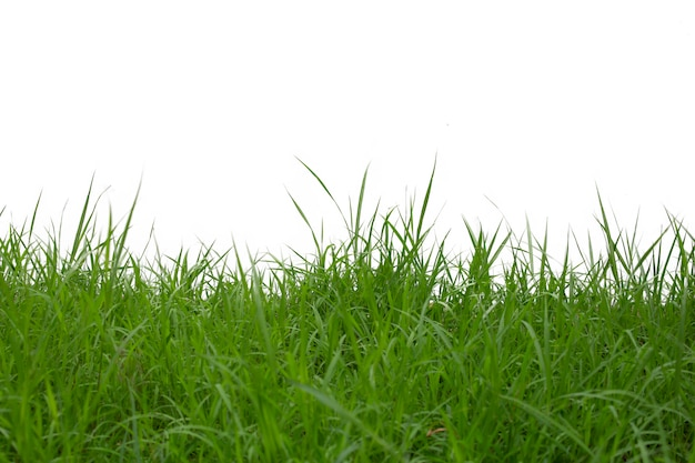 Gras op witte achtergrond wordt geïsoleerd die. Premium Foto