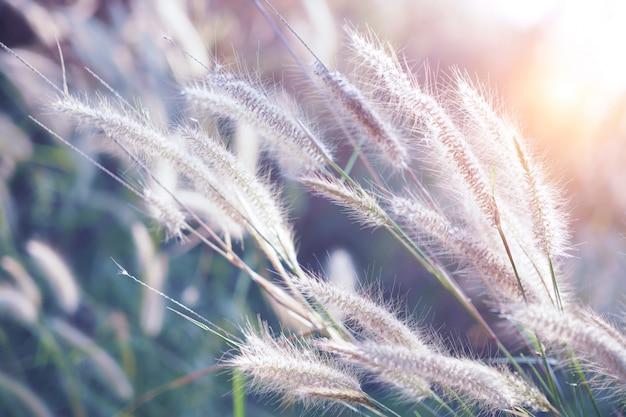 Grasbloem met zonsondergang voor aardachtergrond, zachte en vage nadruk Premium Foto