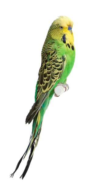 Grasparkiet - melopsittacus-undulatus geïsoleerd Premium Foto