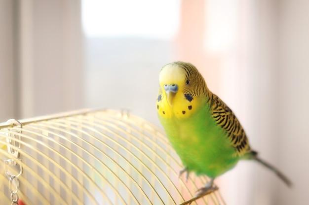 Grasparkiet op de vogelkooi grappige groene parkiet Premium Foto