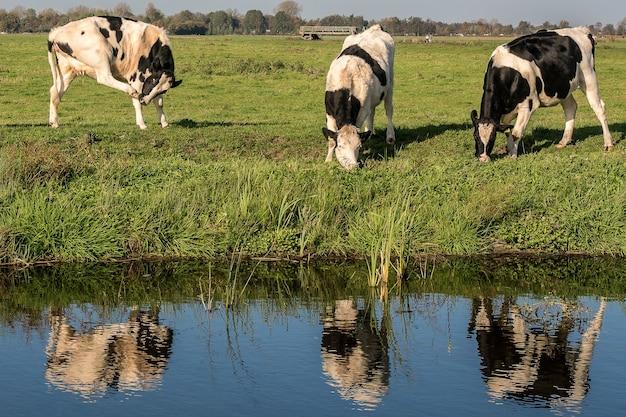 Grasveld in de buurt van het water met koeien die overdag gras eten Gratis Foto