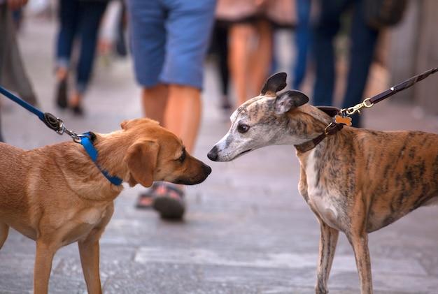 Greyhound dogs ruiken Premium Foto