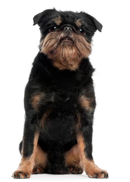 Griffon bruxellois met 5 jaar oud. geïsoleerd hondportret Premium Foto
