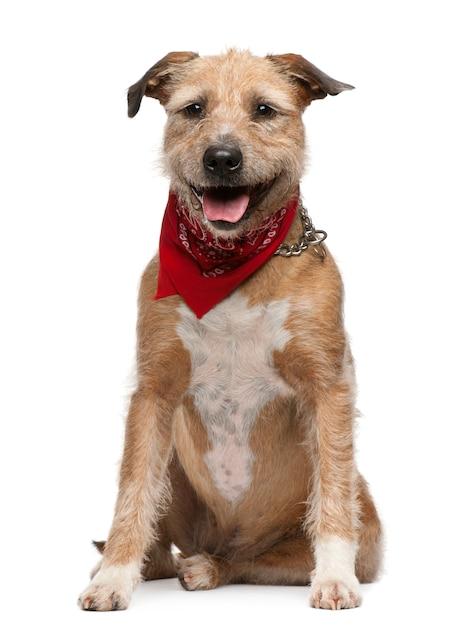 Griffon fauve de bretagne, 5 jaar oud. geïsoleerd hondportret Premium Foto