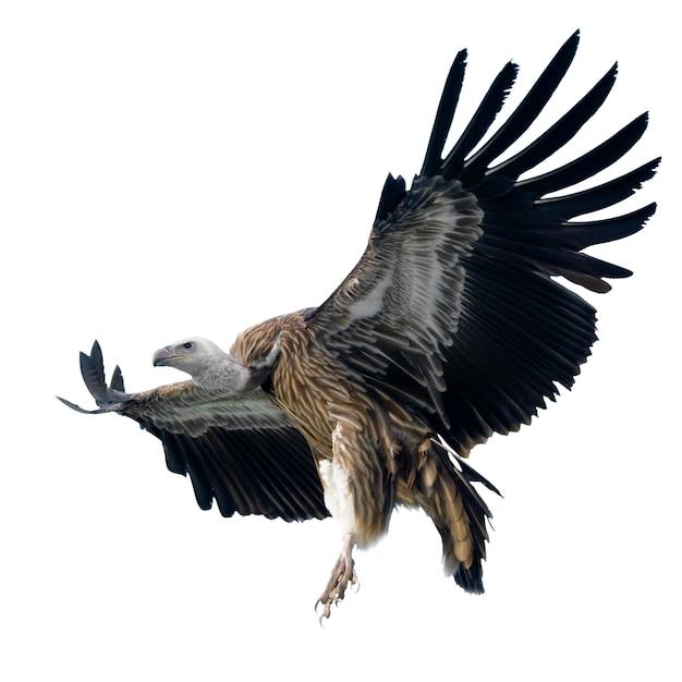 Griffon vulture - gyps-fulvus op wit wordt geïsoleerd dat Premium Foto