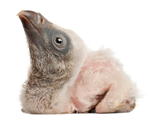 Griffon vulture gyps-fulvus voor witte achtergrond Premium Foto
