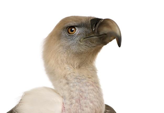 Griffon vulture - gyps-fulvus vooraan op een geïsoleerd wit Premium Foto