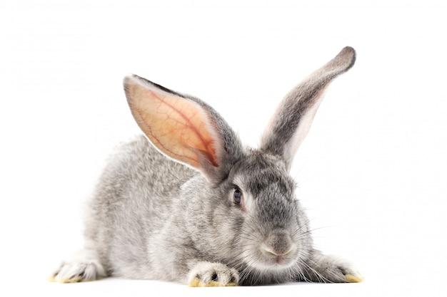 Grijs klein pluizig geïsoleerd konijn Premium Foto