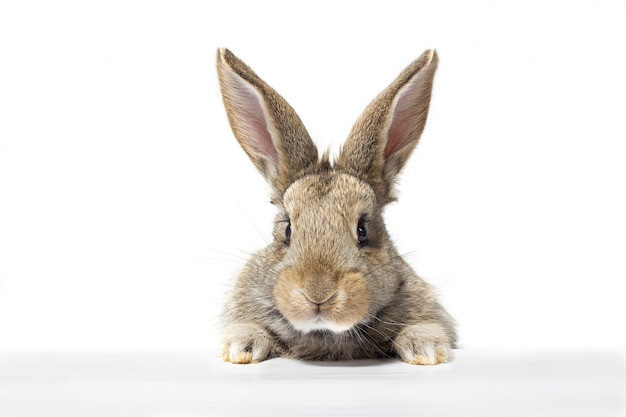 Grijs pluizig konijn die het uithangbord bekijken. geïsoleerd op witte achtergrond paashaas Premium Foto