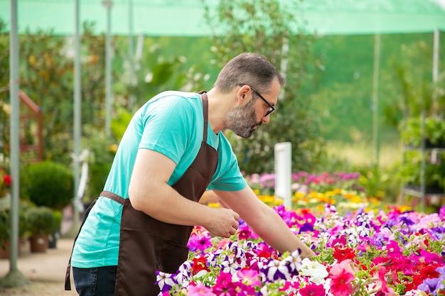 Grijsharige man aan het werk met planten in pot in kas. bebaarde professionele tuinman in zwart schort die prachtige bloeiende bloemen laat groeien. selectieve aandacht. tuinieren activiteit en zomer concept Gratis Foto