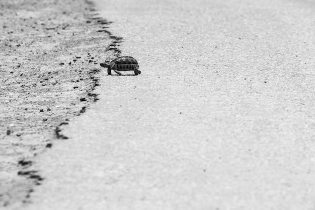 Grijsschaal die van een schildpad is ontsproten die op het warme asfalt van een weg loopt Gratis Foto