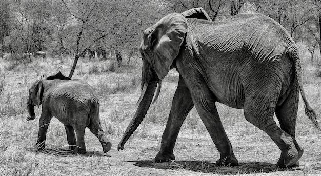 Grijswaardenfoto van een schattige olifant die met zijn baby in de wildernis op het droge gras loopt Gratis Foto
