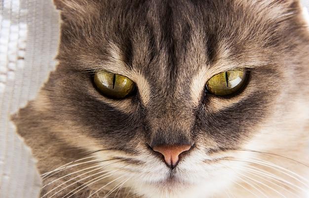 Grijze kat met grote ogen. Premium Foto