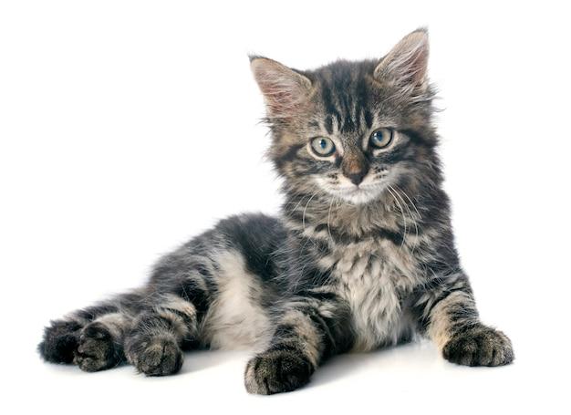 Grijze kitten Premium Foto