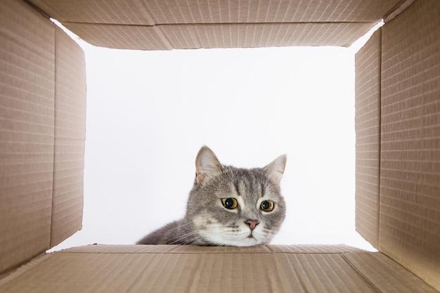 Grijze mooie kat, gluurt in de kartonnen carobka, een nieuwsgierig huisdier controleert interessante plaatsen. kopieer ruimte. Premium Foto