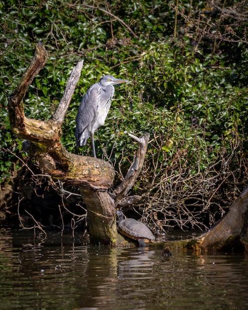 Grijze reiger staande op een been op een dode boom in water met groene bomen Premium Foto