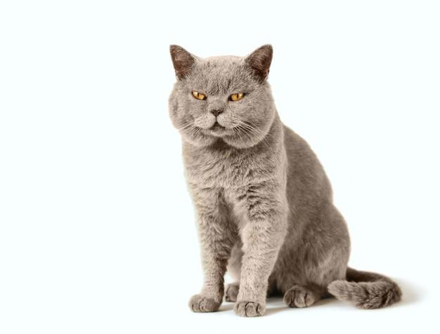 Grijze schotse kat zit op geïsoleerd wit Premium Foto