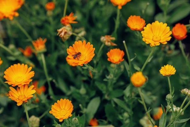 Groeiende bloemen calendula Premium Foto
