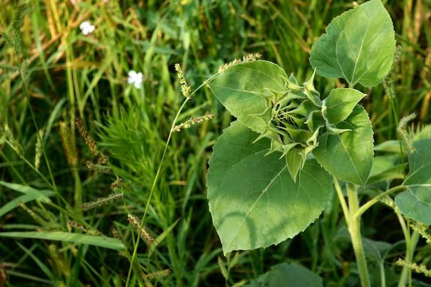 Groeiende zonnebloem, helianthus annuus. ongeblazen groene knop van zonnebloem met groene bladeren. Premium Foto