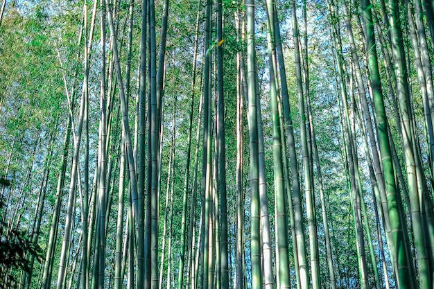Groen bamboebosje, bamboebos japan achtergrondconceptentextuur Premium Foto