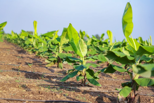 Groen bananenveld in india Premium Foto