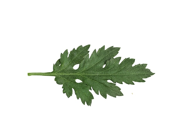 Groen blad van chrysantenbloem Premium Foto